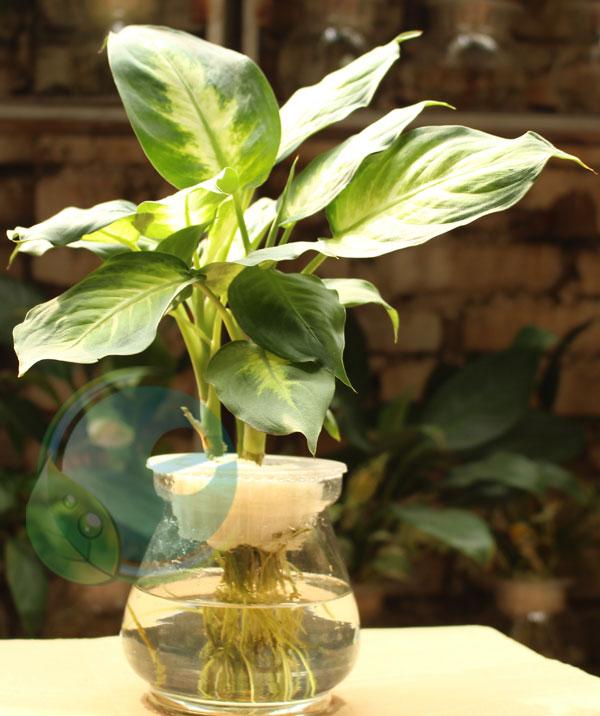 Cây Dạ Lan Thanh